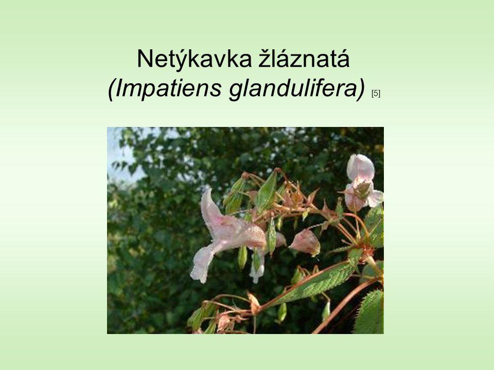 Netýkavka žláznatá (Impatiens glandulifera) [5]